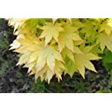 Summer Gold Japanese Maple- Best gold in summer - Does not burn in full sun 1 - Year Live Tree
