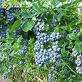 Organic Northern Highbush Blueberry Certified 100+ Seeds #2344 Item UPC#637632549135 self-fertile