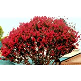 The Crape Myrtle Company LARGE CAROLINA RED CRAPE MYRTLE, 2-4ft Tall When Shipped, Matures 22ft,1 tree, Beautiful Bright Cherry Red (Shipped Well Rooted in Pots with Soil) (Color: Bright Cherry Red, Tamaño: 4 Ft Tall When Shipped)