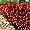 Photinia Fraseri Red Robin - 5 plantes de haies