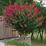 TONTO Dwarf Crape Myrtle, Pack of 5, Striking Dark Watermelon Red, Matures 6'-8' (3-4ft Tall When Shipped, Well Rooted in Pots with Soil) (Color: Watermelon Red)