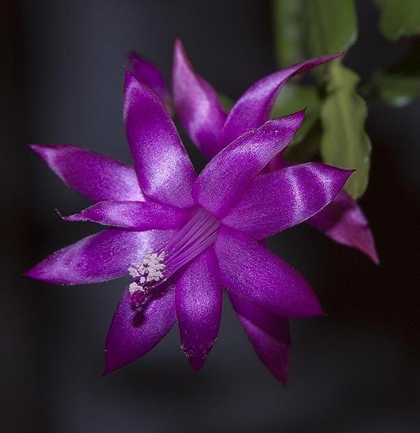 Purple Christmas Cactus Plant