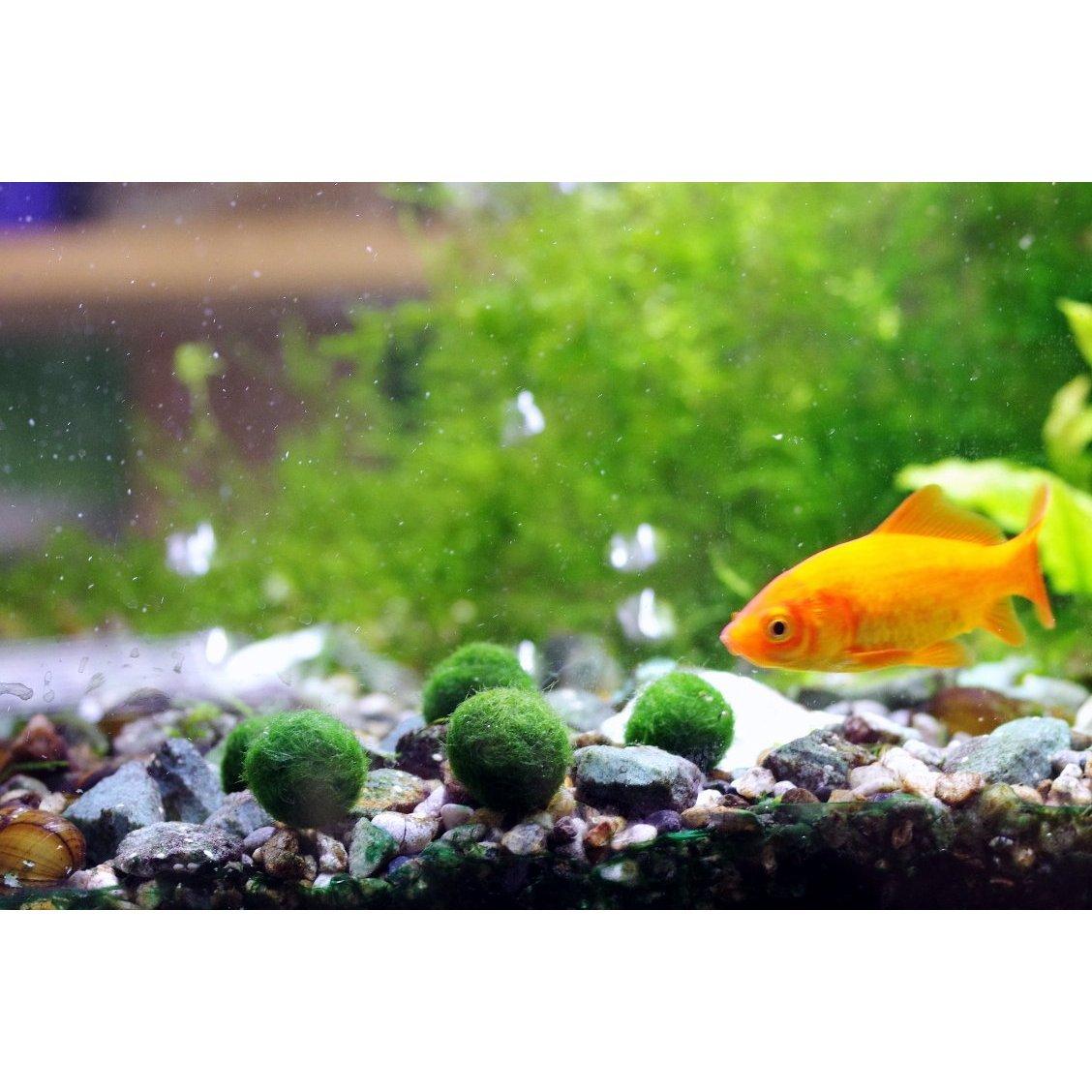Marimo moss balls low maintenance beginner plants for Betta fish moss ball