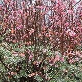 3 X VIBURNUM BODNANTENSE 'DAWN' DECIDUOUS SHRUB HARDY GARDEN PLANT IN POT