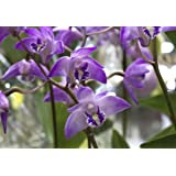 Orchid Insanity Dendrobium kingianum (mature blooming size) fast-growing easiest orchid ever