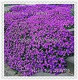 花の種100 Aubrieta種子 - 家庭菜園用のカスケードパープル花の種、極上の多年草グランドカバー、花の種