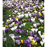 Large Crocus Mix - 20 Bulbs - Best Seller - 9/10 cm Bulbs