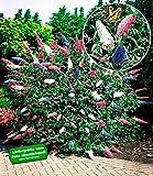 BALDUR-Garten Sommerflieder 'Papillion Tricolor' Buddleia