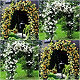 (Combo Of 2 Colors) Floral Treasure Yellow & White Climbing Rose Seeds - Pack Of 20