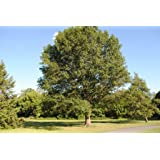 Southern Red Oak Tree Quercus falcata Spanish Established 1 TGallon Trade Pot