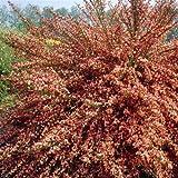 Cytisus Frisia - 1 shrub