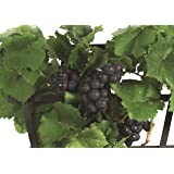 Amazing Pixie Pinot Meunier Grape Vine Plant -2.5