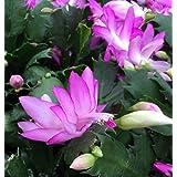 Hirt's Pink Christmas Cactus Plant - Zygocactus - 4