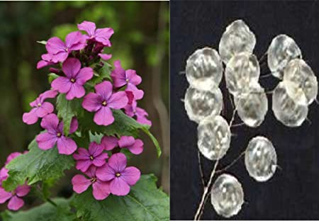 Annua Seeds Plant Seeds Lunaria Annua