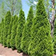 Emerald Green Arborvitae - 2 ft. Tall - 1 Gallon Pot - (Thuja occidentalis \'Emerald\')