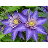 Multi Blue Clematis - NEW! - Navy Blue Double Flower - 2.5