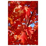 Autumn Blaze Maple Tree - Acer saccharinum - Heavy Established Roots - One Gallon Potted - 1 Plant by Growers Solution (Color: green)