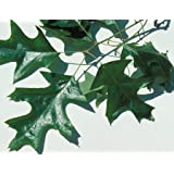 Cherrybark Oak Tree - Southern Red - Established Roots - 1 Trade Gallon Potted - 1 Plant by Growers Solution (Color: green)