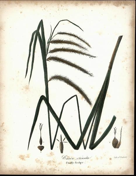 Chaffy Sedge, 1843
