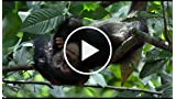 Chimpanzee: Swingin (French)