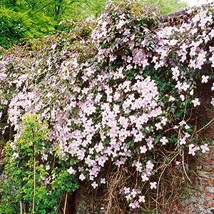 clematis montana rubens 1 shrub garden. Black Bedroom Furniture Sets. Home Design Ideas