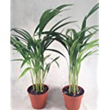 Two areca Palm plant Dypsis lutescens 4'' pot Easy to grow!! unique from Jmbamboo