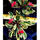 EUPHORBIA MILII SPLENDENS - CROWN OF THORNS 'GOLDEN GEM' - 2 1/4
