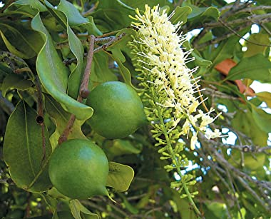 Macadamia Nut Tree Seeds