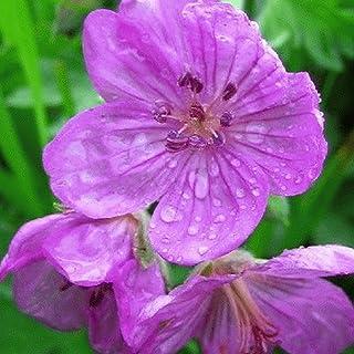 Sticky Purple Geranium Native Wildflower Seeds