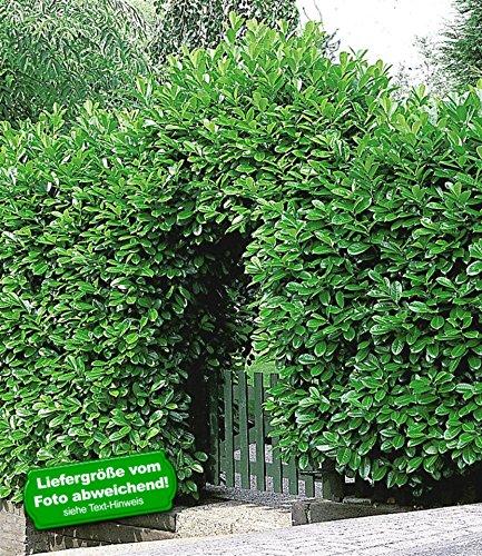 baldur garten kirschlorbeer hecke 5 pflanzen prunus laurocerasus rotundifolia. Black Bedroom Furniture Sets. Home Design Ideas