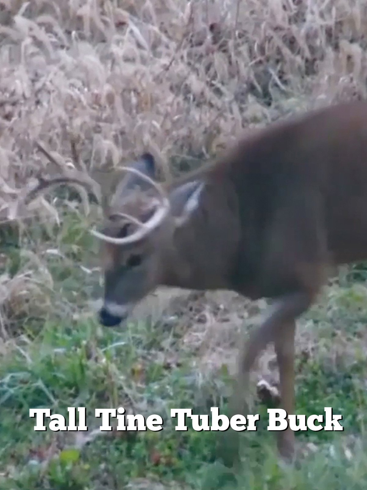 Tall Tine Tuber Buck