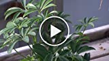 How to Care for a Schefflera Plant