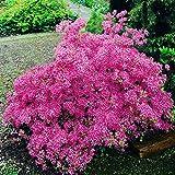 Gartenazalee rosa - 1 strauch