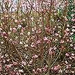 blühende kübelpflanzen winterhart