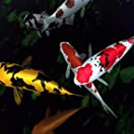 Koi Fish Touch Live Wallpaper