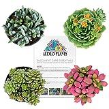 Altman Plants Assorted Live Succulents Fairy Garden Collection Colorful mini plants for DIY terrariums, 2.5