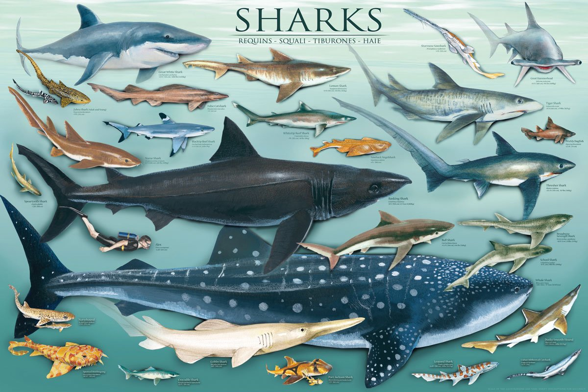 an analysis of the different types of sharks chondrichtyes