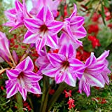 Ture Amaryllis Bulbs Hippeastrum Flowers Hippeastrum Bulbs Bonsai Rare Flower Bulbs Home Garden Plant -2pcs/Bag (Color: 3#)