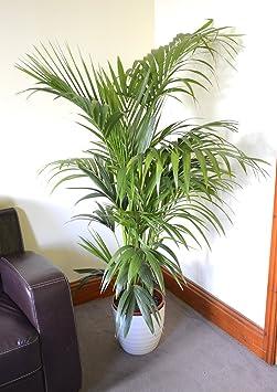 v 0 plante d 39 int rieur plante pour pour la maison ou le le bureau howea forsteriana. Black Bedroom Furniture Sets. Home Design Ideas