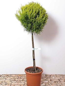 formgeh lz cupressus macrocarpa goldcrest zypresse mini. Black Bedroom Furniture Sets. Home Design Ideas