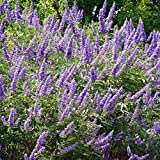 Chaste Tree Seeds (Vitex agnus-chastus) 10+ Medicinal Flowering Tree Seeds Packed in FROZEN SEED CAPSULES for the Gardener & Rare Seeds Collector - Plant Seeds Now or Save Seeds for Years