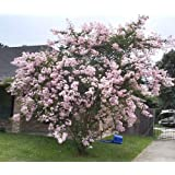 LARGE NEAR EAST CRAPE MYRTLE, 2-4ft Tall When Shipped, Matures 8-10ft, 1 Tree, Delicate Light Pink Flowers, (Shipped Well Rooted in Pots with Soil) (Color: Delicate Light Pink, Tamaño: 3-4ft When Shipped)