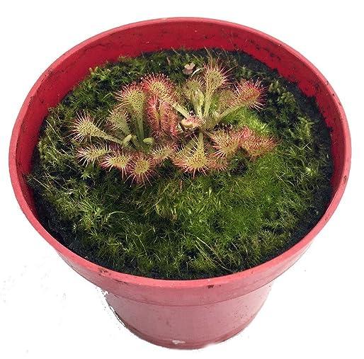 Spoonleaf Sundew Plant