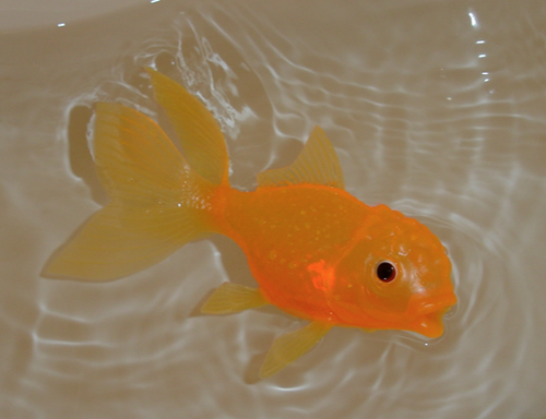 Bambino by the Bay: Glowing Goldfish
