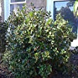 Ilex Blue Prince Holly - 2 Gallon - Live Plant