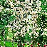 Rose Gärtner Pötschkes Blütenwolke