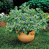 Blueberry 'Sunshine Blue' - Size: 1 Gallon