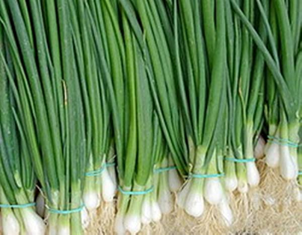 Welsh Onion Seed