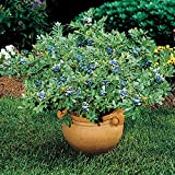 Blueberry 'Sunshine Blue' - Size: 1 Gallon (Vaccinium corymbosum 'Sunshine Blue')