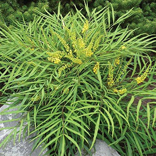 mahonia-eur-soft-caress-shrub-plant-in-a-13cm-pot-2013-chelsea-winner